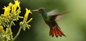 Le colibri butine