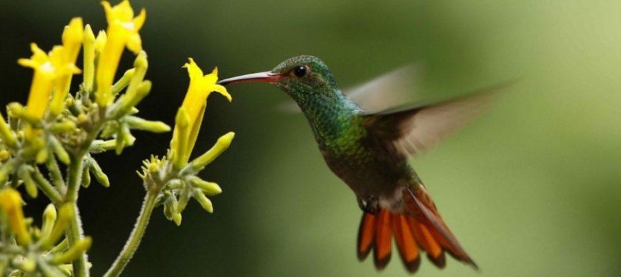 Colibri butinant une jolie fleur jaune
