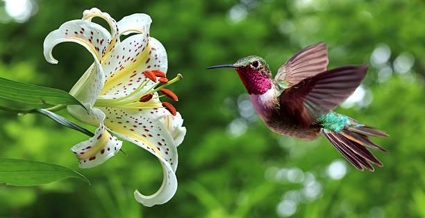 Très belle image d'un colibri