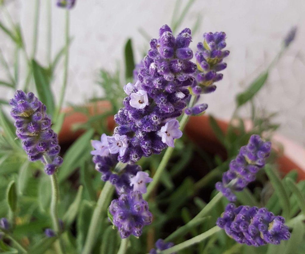 Les première fleurs de lavande le premier Juillet