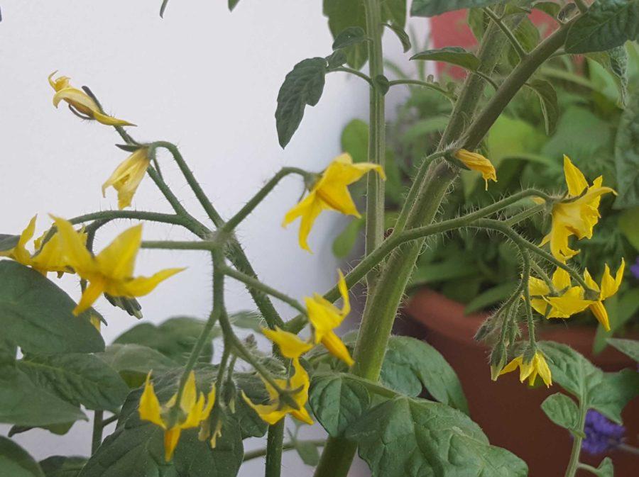 Fleur de tomates cerise