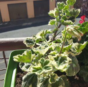 Géranium décoratif