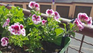 pelargonium angel varié