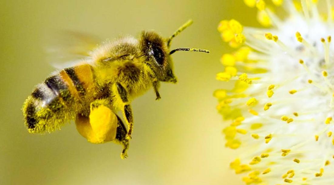 abeille-plante-mellifere